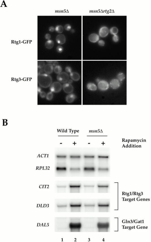 (A) Msn5 is required for export of Rtg1 and Rtg3 from the nucleus. (A) msn5Δ (EY0736) and msn5Δ rtg2Δ (EY0744) cells were transformed with pRtg1-GFP (top) or pRtg3-GFP (bottom) and grown to 0.5 OD600/ml in SCD media lacking uracil and were examined by fluorescence microscopy. Rtg1-GFP and Rtg3-GFP were localized constitutively within the nucleus in msn5Δ cells but not in msn5Δ rtg2Δ cells. (B) RTG-dependent target genes remain responsive to TOR signaling in msn5Δ cells. Wild-type (K699) and msn5Δ (EY0736) cells were grown in YPD until 0.5 OD600/ml and were treated either with drug vehicle (lanes 1 and 3) or with rapamycin (lanes 2 and 4) for 30 min (this time of incubation corresponded to the peak induction of RTG-dependent gene expression observed in the rapamycin time course in Fig. 6). Cells were then harvested and RNA was prepared and analyzed by Northern blotting, probing for the specified mRNAs.