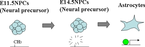 Model proposed for astrocyte-specific expression of the genes demethylated in E14.5 NPCs.Several astrocyte-specific genes are already demethylated in E14.5 NPCs; however, they are induced after diffentiation to astrocytes. This could be explained by astrocyte-specific transcription factors.