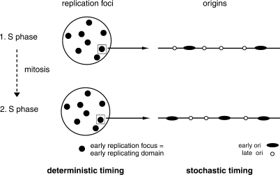 Model of replication timing in the Xenopus in vitro system. Replication timing is maintained during subsequent S phases at the level of replication foci and large chromatin domains, but not at the level of replication origins.