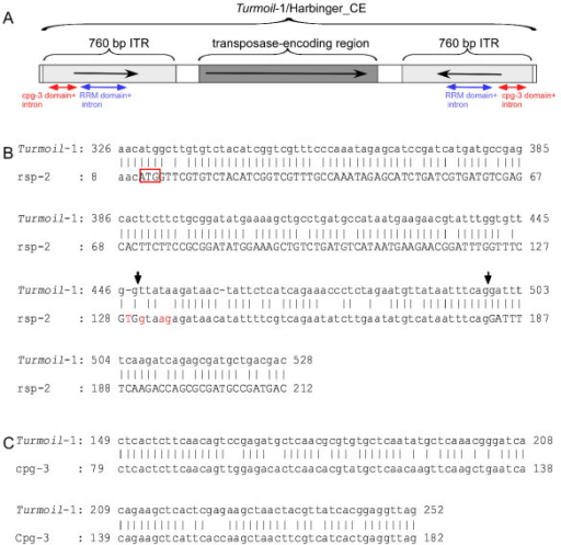 Evidence for two transduplication events within the ITR sequence of the Turmoil-1 transposon. (A) A schematic illustration of the full sequence of Turmoil-1 on chromosome II (see table 1, copy number 6) and the structure and sites of inclusion of fragments of the rsp-2 and cpg-3 genes within the ITR sequence (B) Pairwise alignment (using bl2seq [27]) between the Turmoil-1 sequence and the rsp-2 sequence. The start codon, which is also the first amino acid of the RRM1 domain in the rsp-2 gene, is boxed in red. The intron sequence is indicated by lower-case letters; the protein-coding region is indicated by upper-case letters. The positions of the 5' and 3' splice sites (5'ss and 3'ss, respectively) are marked with arrows. The nucleotides in the 5' splice site of the rsp-2 gene that were mutated in the sequence of the transposable element, thereby abolishing the original 5' splice site, are shown in red. (C) Pairwise alignment between Turmoil-1 and the cpg-3 sequence.