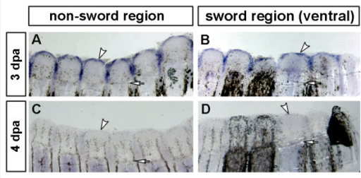 Expression of X. helleri fgf24 during fin regeneration. fgf24 is expressed in the wound epidermis at 3 dpa (A, B). Expression diminishes after 3 dpa and is almost absent by 4 dpa (C, D). fgf24 is not differentially expressed in sword rays (B) compared to non-sword rays (A). White arrowheads indicate the expression in wound epidermis and white arrows the level of amputation. (3 dpa fgf24: n = 6; 4 dpa fgf24: n = 5; scale bars: 200 μm).