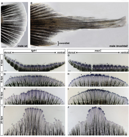 Expression of fgfr1 and msxC in regenerating caudal fins of brushtail mutants. Compared to a wildtype platyfish (A), X. maculatus brushtail mutants possess elongated median caudal fin rays (B). Male brushtail mutants also develop a small ventral extension of the caudal fin (swordlet). fgfr1 and msxC show a graded expression pattern in regenerating caudal fins of brushtail mutants at different stages of regeneration with strongest expression in the median fin rays (C-J). fgfr1 (C-F) and msxC (G-J) are expressed in a similar pattern as in X. helleri regenerating caudal fins. At later stages of regeneration, fgfr1 (F) and msxC show stronger expression in the ventral-most caudal fin rays of males compared to females (J). White arrowheads indicate expression in scleroblasts, black arrowheads the msxC expression domain in the distal blastema and white arrows the plain of amputation. (n = 3 for every stage and probe; scale bars: A and B: 1 mm; C-J: 200 μm).