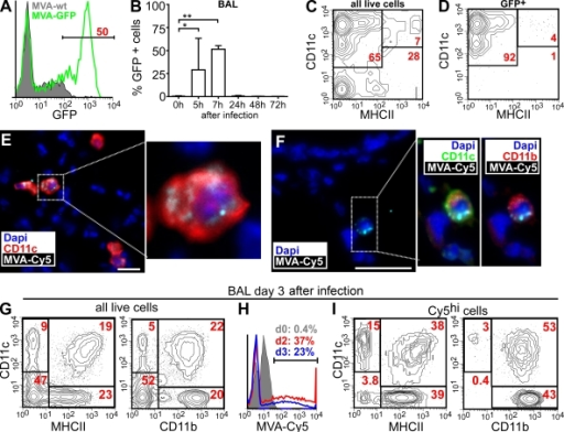 Initial host cell tropism of MVA in the lung. Mice were i.n. infected with 107 IU MVA, and BAL cells were analyzed by flow cytometry. (A) GFP expression of DAPI− BAL cells 7 h after infection with MVA-GFP or MVA-WT. (B) GFP expression of BAL 0–72 h after i.n. infection with MVA-GFP (mean + SD; n = 2–3 mice/time point). (C and D) Expression of CD11c and MHCII on all (C) or GFP+ (D) DAPI− BAL cells 7 h after infection with MVA-GFP. (E) Immunohistology of lung sections 6 h after i.n. application of Cy5-labeled MVA using antibodies and dyes as indicated. (F) As in E, we obtained sections from lungs 30 min after MVA-Cy5 application. Bars, 25 µm. (G–I) FACS analysis of BAL cells 3 d after MVA-Cy5 application using antibodies and virus as indicated. (G and H) Gate on all DAPI− cells. (I) Gate on all DAPI− MVA-Cy5+ cells. The FACS plots and immunohistology shown are representative of three independent experiments, each with two to three mice analyzed per time point. *, P < 0.05; **, P < 0.01.