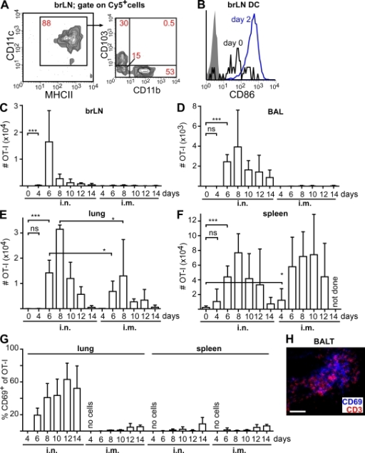 i.n. vaccination with recombinant MVA induces a distinct population of antigen-specific cytotoxic T cells in the lung. (A) Mice i.n. received 107 IU MVA-Cy5, and 3 d later the phenotype of Cy5+ cells in the draining LNs was determined by flow cytometry. (B) Expression of CD86 on CD11c+MHCII+ brLN DCs before and 2 d after i.n. instillation of MVA (shaded area, isotype control). (C–G) 1 d after the i.v. transfer of 200 CD45.1+ CD8+ OT-I T cells into CD45.2+ recipients, mice were i.n. or i.m. infected with 107 IU MVA-OVA. At the indicated time points (days after infection) the absolute number of OT-I cells was determined in the brLNs (C), BAL (D), lung (E), and spleen (F). (G) The percentage of OT-I cells expressing CD69 in the lung and spleen. (H) Expression of CD3 and CD69 in BALT at 12 d after infection. Bar, 50 µm. Data in A and B are representative of four mice analyzed in two independent experiments. Data shown in C–G are pooled from two independent experiments with two to three mice per time point (means + SD). *, P < 0.05; ***, P < 0.001.