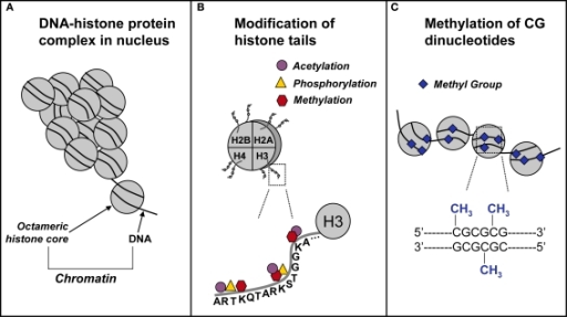Schematic representation of epigenetic mechanisms. (A) In the nucleus, DNA coils and condenses around histones. Each octameric histone core contains two copies each of histones H2A, H2B, H3, and H4. The DNA–protein complex is referred to as chromatin. (B) The DNA-histone interaction occurs at the N-terminal tail of a histone, where for example on the H3 N-terminal tail, there are several sites for epigenetic marking via acetylation, methylation, and phosphorylation. (C) In and around gene promoters that are rich in cytosine-guanine nucleotides (CpG islands), methyl groups are transferred to CpG sites. This process, called DNA methylation, is catalyzed by a class of enzymes known at DNA methyltransferases.