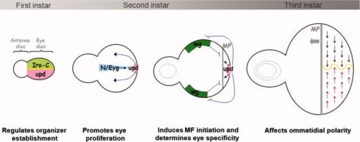 functions of the jak  stat pathway in drosophila eye dev