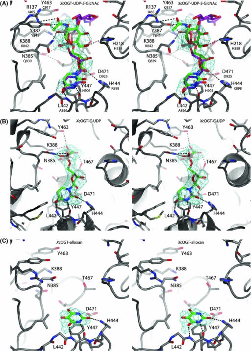 X-ray crystallographic determination of inhibitor binding modes. a Stereo figure of XcOGT in complex with UDP-S-GlcNAc and superposition of the previously described XcOGT–UDP-C-GlcNAc complex [PDB entry 2JLB (Clarke et al. 2008)]. XcOGT active site residues are shown in sticks with grey carbon, red oxygen, blue nitrogen atoms. UDP-S-GlcNAc and UDP-C-GlcNAc are shown with green and purple carbon, respectively. Hydrogen bonds for the XcOGT–UDP-S-GlcNAc complex are indicated by black dashed lines. Unbiased /Fo/−/Fc/, ϕcalc electron density map (2.75σ) is shown as cyan chickenwire. b Stereo figure of XcOGT in complex with C-UDP compared to the UDP complex [PDB entry 2VSN (Martinez-Fleites et al. 2008)]. XcOGT active site residues are shown in sticks with grey carbon, red oxygen, blue nitrogen atoms (transparent sticks for XcOGT–UDP), ligands shown in green carbon atoms. Active site residues involved in hydrogen bonds are labelled. Hydrogen bonds are indicated by black dashed lines. Unbiased /Fo/−/Fc/, ϕcalc electron density map (2.25σ) is shown as cyan chickenwire. c Stereo figure of XcOGT in complex with alloxan. XcOGT active site are shown in sticks with green carbon, red oxygen, blue nitrogen atoms in the active site of XcOGT (sticks with grey carbon atoms). Hydrogen bonds are indicated by black dashed lines. Unbiased /Fo/−/Fc/, ϕcalc electron density map (2.25σ) is shown as cyan chickenwire. Black dashed lines showing hydrogen bonds for XcOGT–alloxan complex