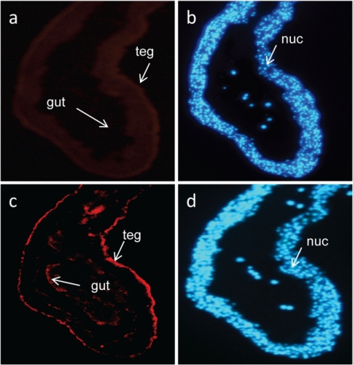 Immunolocalization of S. japonicum Sj-TSP-2e in adult female worms.Parasite sections were reacted with specific antibodies produced in mice against recombinant Sj-TSP-2e. The antibodies that specifically bound to the sections were probed with an anti-mouse IgG labelled with Cy3 conjugate (a, c). Red fluorescence in panel c indicates Sj-TSP-2e is located in the parasite tegument (teg); anti-thioredoxin (fusion protein tagged with 6His) antibodies in panel a did not react. DAPI to label nuclei (nuc in blue) (b, d) was used as a quality control marker for the sections. Tegument, teg.
