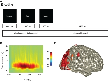 An increase in posterior alpha activity predicts successful long-term memory encoding. This suggests that functional inhibition of occipital cortex is a requirement for successful memory formation. (A) Subjects were instructed to rehearse visually presented word triplets during a 3.4-s period. Later memory for the triplets was tested. This allowed for characterizing the brain activity during the rehearsal interval predicting successful memory formation. (B) The alpha activity was stronger for Later Remembered compared to Later Forgotten triplets. (C) The sources of the alpha activity predicting memory encoding were localized in the occipital cortex. Reproduced with permission from Meeuwissen et al. (2010).