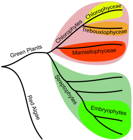 Schematic phylogeny of green plants. The chlorophytes (pink) and the streptophytes (light green) constitute the two phyla of green plants. The chlorophytes are further divided into a number of classes including chlorophyceae (yellow), trebouxiophyceae (orange) and mamiellophyceae (red) whereof mamiellophyceae is the basal clade. Terrestrial plants (embryophytes; green) are part of the streptophyte phylum. The position of red algae is indicated to root the schematic tree.