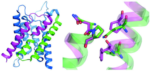 Structural alignment of internal symmetry. All MIPs consist of 6 transmembrane helices and two half helices, HB and HE, that together form a seventh transmembrane domain, as illustrated by the cartoon representation of the AQP4 structure to the left (PDB ID: 3GD8). Internal sequence similarities and the two-fold quasi symmetry suggest that MIPs have evolved through an internal duplication. Highlighted in green are the structural elements H3 and HB, whereas corresponding parts in the second repeat are coloured in magenta. The close up to the right depicts a structural alignment of these elements showing asparagine and proline of the NPA motif at the beginning of HB and HE as sticks. The side chain of the conserved glutamine in H3 is directed towards the nitrogen of the NPA proline in HB. In almost all MIPs the corresponding interaction in the second half of the protein is provided by a backbone oxygen in H6. This is possible due to a conserved proline hindering an α-helical H-bond within H6. Interestingly, the proline in H6 is not conserved in MIPDs which in general have glutamine or glutamate at this position, suggesting that these MIPs are more symmetrical. This structure might in fact resemble the ancestral form created by the internal duplication.