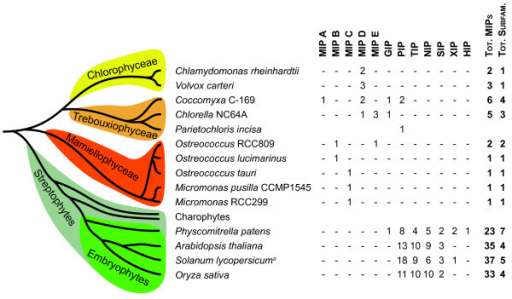 Overview of identified MIP subfamilies in green plants. A schematic tree showing the evolutionary relationship between green plant lineages is combined with a table summarizing the distribution of plant MIP subfamilies. MIPA-E constitutes novel subfamilies identified in this study. The PIP and the GIP subfamilies appear to have evolved before the split of the chlorophyte and the streptophyte lineages. For all plants except S. lycopersicum and P. incise the number of MIPs is derived from annotations of whole genomes [9,55,56]. a) The occurrence of MIPs in S. lycopersicum is based on an extensive analysis of ESTs [57].