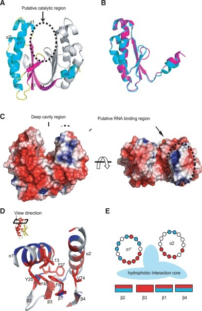 Structure of HP0315 from H. pylori. (A) Cartoon representation of dimer of HP0315 (α-helices, β-strands and loops are cyan, magenta and yellow, respectively). Dotted circle represents the putative catalytic region located at deep cavity region. (B) Superposition of molecules A and B from HP0315 with an average r.m.s.d. of 0.362 Å. Two molecules are slightly different from each other in the loop between β2 and β3 and C-terminal region. (C) Surface representation of HP0315 showing positive electrostatic potential in blue and negative in red. Dotted circle represents the putative RNA-binding region. This region would be related to initial binding with RNA, and then second catalytic reaction would be happen around deep cavity region. (D) The image seeing down from top indicates that highly conserved residues (F6, L13, Y25, F37, Y45 and V74) from the result of structure based sequence alignment are concerned with hydrophobic interaction. Hydrophobic residues are colored in red and hydrophilic residues are in blue, respectively. (E) This figure shows that clustered hydrophobic residues into inside form the hydrophobic interaction core. All figures were prepared using PyMOL (52).