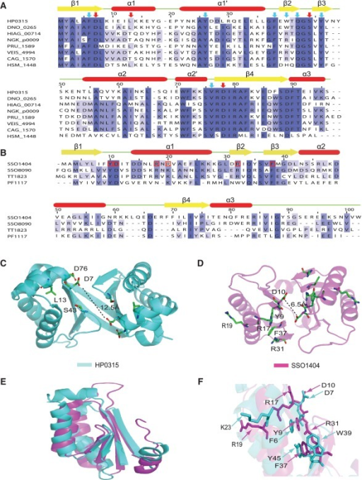 Structure-based sequence analysis of HP0315 with other proteins belonging to VapD family and Cas2 proteins. (A) Residues conserved in all VapD family are colored under dark blue, highly conserved residues under medium blue and somewhat conserved residues under light blue. The secondary structure elements derived from the structure of HP0315 are displayed above the alignment. Residues marked with arrow were highly conserved among VapD family and selected as candidates for mutational studies. Residues with red arrow are related to catalytic activity based on mutational study. The compared proteins are as follows: HP0315 (NCBI accession ID: NP_207113), DNO_0265 (YP_001209119) from D. nodosus, HIAG_00714 (ZP_05850077) from H. influenza, NGK_p0009 (YP_002000622) from N. gonorrhoeae, PRU_1589 (YP_003574888) from P. ruminicola, VEIS_4994 (YP_999698) from V. diseniae, CAG_1570 (YP_379868) from C. chlorochromatii, HSM_1448 (YP_001784768) from H. somnus. (B) Structure-based sequence analysis of Cas2 proteins. Residues are colored like above sequence alignment. Residues marked with red box of SSO1404 are important for the catalytic activity of SSO1404 (26). The compared proteins are as follows: SSO1404 from S. solfataricus, SSO8090, TT1823 from T. thermophilus and PF1117 from P. furiosus. (C) Important residues for its activity of HP0315. According to mutational study, D7, L13, S43 and D76 are important residues for its activity. D7 and D76 are supposed to be a nucleophile which can attack and cleave phosphodiester bond of ssRNAs. L13 located on the α1 helix region can affect the local environment of α1 helix which is a candidate for first RNA-binding region using positive residues. S43 located between β2 and β3 might bind with uracil base, which might help the specific cleavage of RNA. (D) Important residues for its activity of SSO1404. D10 is known as a catalytic active site (26). (E) Superposition of HP0315 and SSO1404. HP0315 is colored by cyan and SSO1404 is colored by magenta. (F) Superposition of key residues of SSO1404 with the corresponding residues of HP0315. The sequences were aligned by CLUSTALW2 (53), and the figure was generated using Jalview (54).