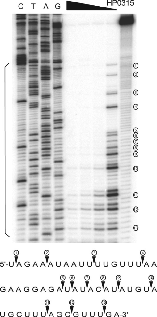 Primer extension inhibition analyses of mRNA cleavage by GB1_HP0315. Lanes 1–4 are DNA sequence ladders. Lane 5–9 is primer extension products of mRNA of HP0315 after digestion with various amounts of GB1_HP0315. Cleavage sites are indicated by sequential numbers on right side of the images. The RNA recognition sequences analyzed by the DNA sequencing ladder are on bottom side of the images. Preferential cleavage sites are mainly before the bases A and G.