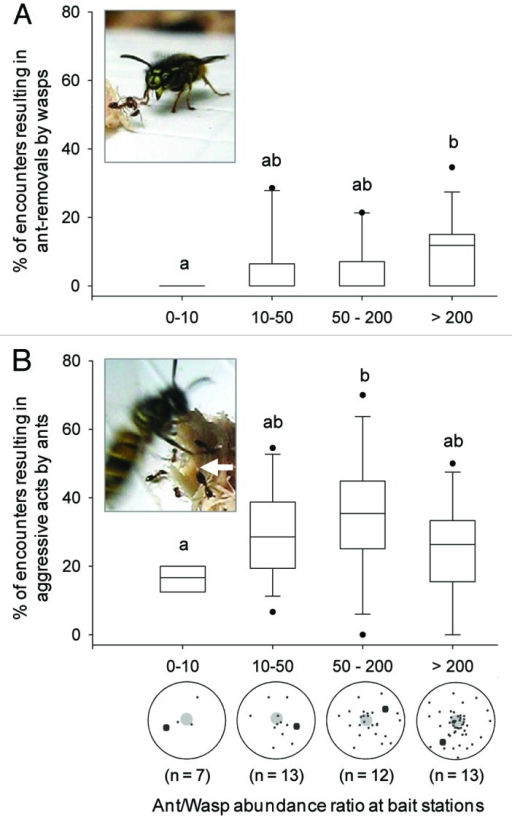 Figure 1.  Percentage of ant-wasp encounters resulting in aggressive acts by wasps (A) or ants (B), as a function of the ratio between average ant and wasp abundance at protein baits (n = number of bait stations per ratio category). Box plots show 10th and 90th percentiles (whiskers), 25th and 75th percentiles (boundary of the box), median (line) and outliers (black dots). All data were obtained by videotaping ant-wasp interactions at each bait station for approximately 40 min (see ref. 4 for details). Inset pictures show the typical postures of (A) wasps just before picking up an ant and dropping it away from the resource, or (B) ants adopting a threatening posture with wide open mandibles and a drop of acid at the tip of the gaster (white arrow). Below the x-axis of (B) is a schematic representation of ants and wasps (small and large black dots, respectively) when both species were present around the food bait (large gray dot). The proportion of aggressive interactions is relative to the number of passive contacts (contacts that resulted in no response from either species). This proportion differed significantly in both wasps and ants according to the category of ant/wasp abundance ratio (Kruskal-Wallis tests: H = 9.42, p = 0.024 and H = 8.43, p = 0.038; respectively). Different letters indicate a significant difference after a Dunn's post-hoc test (p < 0.05).