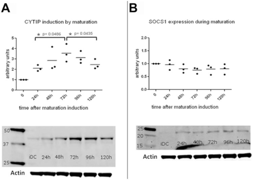 CYTIP and SOCS-1 expression levels at different time points during maturation in monocyte derived dendritic cells.(A) CYTIP expression levels during maturation of dendritic cells were measured at the indicated time points. Western blots were performed using rat anti human CYTIP antibody 1A3 and visualized with Alexa fluor 680 goat anti rat antibody. Three independent Western blot analyses were analyzed and show a peak expression for CYTIP at 72 hours after induction of maturation. One representative Western blot is shown. (B) SOCS-1 expression during maturation remains stable over time. Western blot analyses were performed with lysates harvested at the indicated time points using rabbit polyclonal anti SOCS-1 antibody and visualized with Alexa fluor 680 goat anti rabbit antibody. One representative Western blot is shown. Arbitrary units were set to show progression of CYTIP (A) and SOCS-1 (B) expression during maturation. Immature dendritic cells (iDC) were used as reference level at time point 0 of maturation.