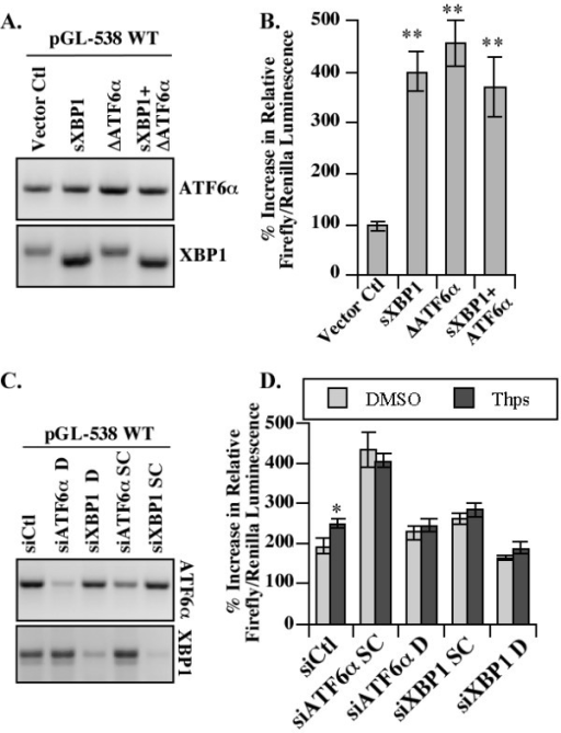ATF6α and XBP1 transactivate PRNP promoter. (A) Ethidium bromide stained gel showing ΔATF6α, sXBP1 and XBP1 amplicons from HEK293 cells co-transfected with the pGL-538 PRNP promoter luciferase reporter and pCGN-ATF6α (1-373) and/or pCGN-sXBP1. (B) Luciferase luminescence generated from HEK293 cells co-transfected as described in A. (C) Ethidium bromide stained gel showing ATF6α and XBP1 amplicons from HEK293 cells co-transfected with the pGL-538 PRNP promoter luciferase reporter and siRNAs against ATF6α or XBP1. (D) Luciferase luminescence generated from HEK293 cells co-transfected as described in C. Statistical analyses on B and D were one-way ANOVA followed by a Tukey-Kramer multiple comparison test.