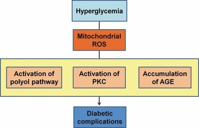 Proposed mechanism leading to diabetic vascular complications. Mitochondrial reactive oxygen species (ROS) could be the main cause of hyperglycemia‐induced oxidative stress. In addition, mitochondrial ROS is a causal link between hyperglycemia and each of the three main pathways responsible for hyperglycemic damage such as the activation of polyol pathway, the activation of protein kinase C (PKC) and the accumulation of advanced glycation end‐products (AGE).
