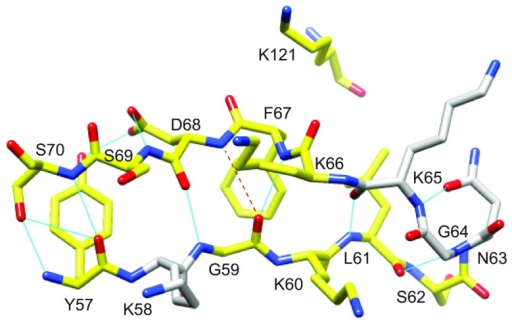 Structural distribution of residues in the β2 and β3a strands of FKBP51 that exhibit reductions in R2 values resulting from the L119P substitutionResidues for which the 15N R2 value decreases by more than 0.5 s−1 at 900 MHz 1H are coloured yellow. There are no other differences in R2 greater than 0.5 s−1 outside the β4–β5 loop. A kink in the β3a strand occurs at Phe67 and Asp68 where the amide hydrogen of Asp68 is slightly too far from the carbonyl oxygen of Gly59 to form a canonical antiparallel β-sheet hydrogen-bonding interaction. This kink occurs at the site of direct contact with the tip of the β4–β5 loop as indicated by Lys121.