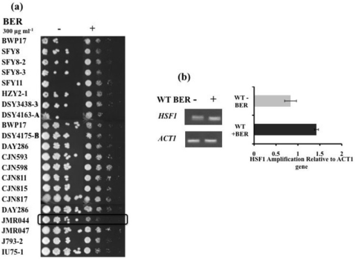 TF mutant library screening (a) Serial dilution assays of TF mutant strains in the presence of BER, (b) end point comparative RTPCR of HSF1 (gene deleted in JMR044) in WT strain (DAY286) in presence and absence of BER.
