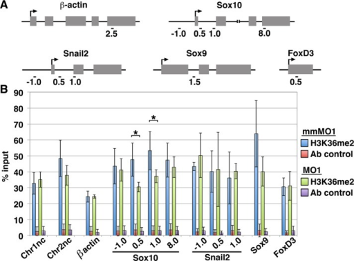 NSD3 dimethylates H3K36 at the Sox10 locus. (A) Primer locations in β-actin, Sox10, Snail2, Sox9, and FoxD3 genes used for quantitative PCR after chromatin immunoprecipitation, named by their distance in kilobases from the transcription start site (arrow). (B) Average percentage input (mean ± SD) recovered in three independent chromatin immunoprecipitation experiments performed with 30 pooled NSD3 mmMO1- or MO1-electroporated neural tubes, assaying H3K36me2 occupancy at 12 genomic loci (Chr1nc [chromosome 1 negative control], Chr2nc [chromosome 2 negative control], β-actin, four regions within Sox10, three regions within Snail2, Sox9, and FoxD3). Input recovered is in the normal range for a methylated histone (Cell Signaling Technology, www.cellsignal.com/support/faq_chip.html#a11) and consistent with levels of H3K36me2 occupancy in other systems (e.g., Blackledge et al., 2010; Asangani et al., 2013; fold enrichment in Figure 5 ranges from 5 to 300). Normal rabbit IgG was an immunoprecipitation control (Ab control). Student's t test was used for statistical analysis; *significant; p < 0.05.
