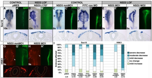 NSD3 is required for neural crest migration. (A–H) Embryos were unilaterally electroporated at gastrula stages 4–6 with 6-8.6 μg/μl GFP bicistronic expression plasmid pMES (A), 6–8.6 μg/μl pMES driving NSD3Δ1707 (B), 0.75 mM 5–base pair mismatch MO (NSD3 mmMO1; C, G), 0.80 mM FITC standard control MO (D), 0.75 mM NSD3 MO1 (E, H), or 0.92 mM NSD3 MO2 (F). After incubation to 8–11 somites, neural crest cells were visualized by in situ hybridization for Sox10 (A–F) or immunofluorescence for HNK1 (G, H). (A′–H′) GFP- or FITC-tagged MO targeting. Dorsal view, anterior up. Corresponding cross sections are shown beneath dorsal views. Yellow dots outline the neural tube in G and H. White arrowhead, targeted side; black arrowhead, untargeted side; s, somite. (I) Embryos were categorized by the distance targeted neural crest cells migrated compared with the untargeted control side.