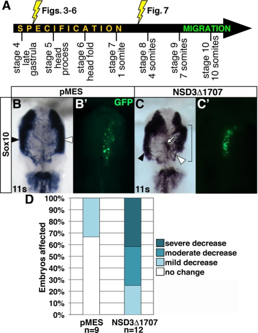 NSD3 or a related methyltransferase regulates neural crest migration independent of specification. (A) Whereas electroporation at stage 4+ knocks down NSD3 or interferes with NSD3-related activity throughout early neural crest development, electroporation at stages 7–8 limits NSD3 loss of function to migratory stages. (B, C) Embryos were unilaterally electroporated at one to four somites with 6–8 μg/μl GFP bicistronic expression plasmid pMES (B) or pMES driving NSD3Δ1707 (C). After incubation to migration stages, neural crest cells were visualized by Sox10 in situ hybridization. Bracket, targeted cells; white arrow, neural crest cells that have not migrated. (B′, C′) GFP construct targeting. Dorsal view, anterior up. White arrowhead, targeted side; black arrowhead, untargeted side; s, somite. (D) Embryos were categorized by the distance MO-targeted neural crest cells migrated compared with the untargeted control side. All embryos electroporated with NSD3Δ1707 had impaired neural crest migration.