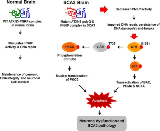 Proposed mechanism where interaction of PNKP with mutant expanded polyQ-containing ATXN3 abrogates PNKP's 3'-phosphatase activity.This atypical interaction perturbs the efficacy of DNA repair, leading to the persistent accumulation of DNA damage/strand breaks in SCA3. The wild-type ATXN3 binds with and stimulates PNKP's enzymatic activity to repair damaged DNA, contributing to genomic DNA sequence integrity and neuronal survival. By contrast, mutant ATXN3 interacts with and decreases PNKP's 3'-phosphatase activity, leading to the persistent accumulation of DNA damage in the post-mitotic neurons and resulting in chronic activation of the DNA damage-response ATM→p53 signaling pathway in SCA3. This triggers apoptosis by increasing expression of such p53 target genes as BAX, PUMA and NOXA in SCA3. In parallel, activated ATM phosphorylates c-Abl kinase, which in turn phosphorylates PKCδ, facilitating nuclear translocation of PKCδ and thus further amplifying the pro-apoptotic output in SCA3 ultimately leading to neuronal death in SCA3.