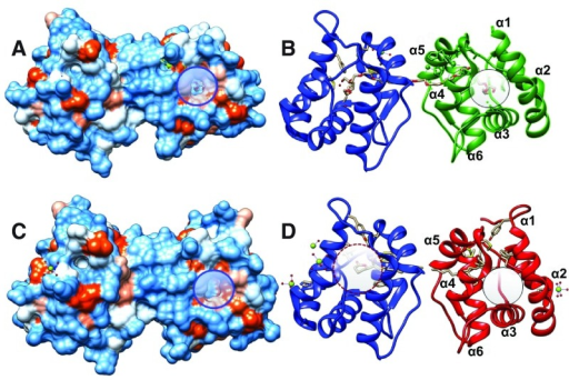 "Structures of AaegOBP1 and CquiOBP1 bound to PEG and MOP, respectively.(A andC) Hydrophobicity surfaces of AaegOBP1 and CquiOBP1. (B andD) Ribbon displays of the same structures. A potential secondary binding site for MOP is highlighted with circles. It is occupied by PEG in AaegOBP1 but ""empty"" in CquiOBP1. The central cavity is highlighted in (D) with a dashed circle and shows that only the polar head (lactone moiety) of MOP is housed in the core of the protein. Figure prepared with UCSF Chimera software."