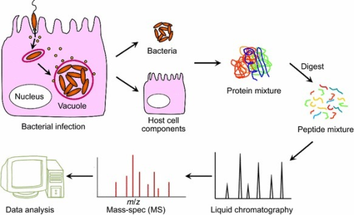 A general workflow of proteomic studies of host-pathogen interactions. Upon infection of host cells (with intracellular bacteria as an example), bacterial pathogens were physically isolated from host cells and subjected to high-throughput proteomic analyses by LC-MS-based approaches. Host cellular components can also be analyzed, though extensive sample fractionations were necessary for sufficient proteome coverage (i.e., subcellular enrichment and protein gel separation). Protein samples are enzymatically digested into peptide mixtures prior to LC-MS measurements for both qualitative and quantitative analyses