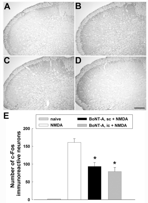 Effects of the subcutaneous or intracisternal injection of botulinum neurotoxin type A (BoNT-A) on c-Fos expression in the medullary dorsal horn. (A) c-Fos immunoreactive neurons in a naïve animal. (B) Intracisternal administration of 0.5 µg NMDA increased the number of c-Fos immunoreactive neurons in the superficial lamina I and II in the medullary dorsal horn. (C) Subcutaneous administration of BoNT-A (3 U/kg) decreased the number of c-Fos immunoreactive neurons. (D) Intracisternal injection of BoNT-A (1 U/kg) decreased the number of c-Fos immunoreactive neurons. (E) The histogram shows the number of c-Fos immunoreactive neurons in the ipsilateral medullary dorsal horn. *p<0.05 vehicle vs. BoNT-A treated group, n=5 animals per group. Scale bar, 100 µm.