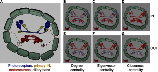 Measuring network centrality in Blender for the Platynereis visual neuronal network (a). Degree (b, e), eigenvector (c, f) and closeness centrality (d, g) projected onto the 3D model of the neuronal network