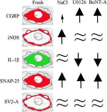 Schematic drawings. The drawing demonstrates the major immunohistochemical findings in neurons and SGCs. CGRP, IL1β and SNAP-25 were mainly found in the neurons, and iNOS and SV2-A in the SGCs. Arrows illustrate increase and decrease, respectively.