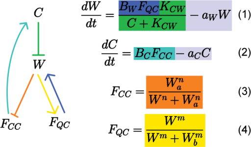 Graphical and mathematical presentation of the relationships between C, W, FCC and FQC. Equations (1) and (2) determine the rate changes of W and C values, respectively, while equations (3) and (4) detail the Hill functions governing cell fate dependence on W. C inhibits W (green), while W promotes production of FQC (yellow) and represses FCC (orange). FQC provides positive feedback to W (blue), and FCC promotes C (teal). W and C are degraded at a constant rate (grey). Bw, Kcw, aw, Bc, ac, Wa, Wb, m and n are parameters.