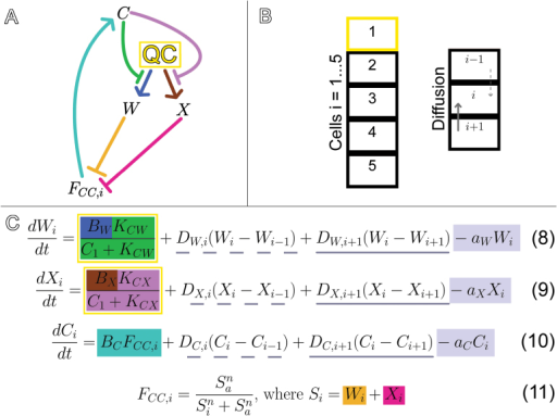 Graphical and mathematical representations of the C/W/X multi-cell model. The C/W/X model was constructed by adding X to the C/W multi-cell model and giving it the same role as W. (A) C represses W (green) and X (purple). W represses FCC (orange), and X represses FCC (pink). FCC promotes C (teal). Production of W and X is confined to the QC cell (yellow). (B) The model simulates a cell column. The cell with index i=1 is the QC (yellow cell), while the model determines the fates of those distal to it. W, X and C can all diffuse through the cell column and the value of each in cell i are denoted Wi, Xi and Ci. (C) Equations 8, 9, 10, and 11. The production terms of W and X in the yellow box only apply in the QC cell and production of W and X is restricted by the amount of C signalling to the QC (green). Diffusion terms track the fluxes of W, X and C between cell i and its proximal neighbour (dotted underline) and between cell i and its distal neighbour (solid underline). A diffusion term is omitted if the value of i is outside of 1 through 5; there is no flow between the QC and the cell proximal to it and no flow between the 5th cell and the cell distal to it. The value of FCC in cell i (FCC,i) is determined by the sum of Wi and Xi. FCC,i determines the fate of cell i and the production rate of C (teal) in cell i. W and C are degraded at constant rates (grey).
