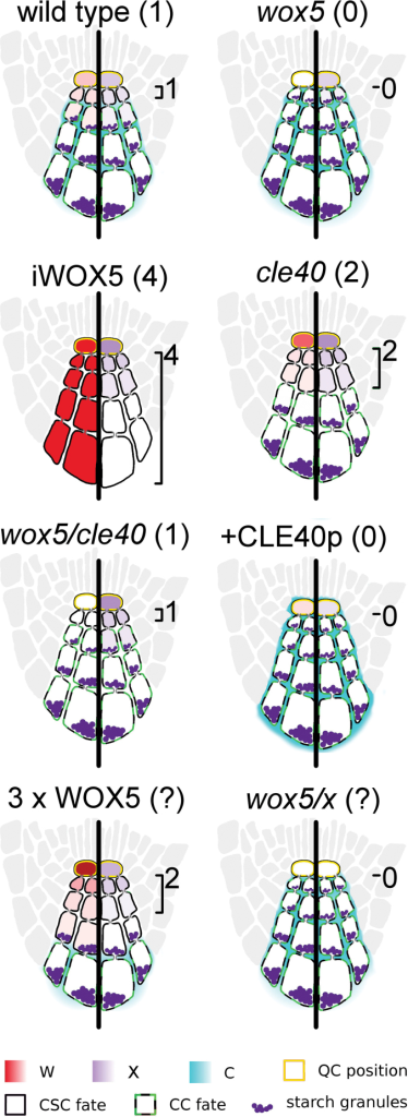 Representation of C/W/X multi-cell model predictions of CSC fate and C/W/X localization. Gradients of W as predicted by the model are shown on the left sides of roots, while X gradients are shown on the right. Expected number of CSC rows, based on experimental results, is shown in parentheses, while those based on model predictions are shown next to the root diagram. The model outcomes can emulate the expected number of rows for wild type, wox5 mutants, cle40 mutants, wox5/cle40 double mutants, constitutively expressed WOX5 (iWOX5), and the addition of sufficient amounts of CLE40p (+CLE40p). We have also used the model to predict results of experiments that have not yet been completed to aid in later validations of this model. Tripling the W production rate (3× WOX5) is expected to yield more layers of stem cells. In the case of these parameter values, it is expected to result in two layers.
