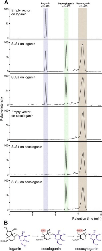 SLS1 and SLS2 catalyze the conversion of loganin in secologanin and secoxyloganin. a LC-MS chromatograms using selected ion monitoring (loganin, mass-to-charge ratio 413; secologanin, mass-to-charge ratio 433; secoxyloganin, mass-to-charge ration 403) of the reaction products of yeast extracts from cell cultures expressing either SLS1 or SLS2 or containing the empty pYeDP60 vector, incubated with loganin or secologanin. b Schematic reaction catalyzed by SLS1 and SLS2 highlighting the aldehyde to acid conversion