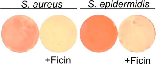 Evaluation of matrix proteins hydrolysis with Ficin.Bacteria were grown on BM medium for 72 h to form a biofilm, then a medium was replaced by the fresh one containing Ficin (1000 μg/ml) and Congo red and incubation was continued for the next 24 h.