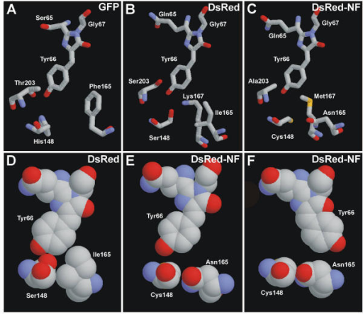 "Schematic outline of the chromophores and selected neighboring residues in GFP (A), DsRed (B, D), and DsRed-NF (C, E, F) in ""sticks"" and ""spacefill"" representation. Carbon atoms are gray, nitrogen atoms are blue, and oxygen atoms are red. Images were generated by RasMol 2.6 software. Computer modeling for DsRed-NF was performed using Swiss-PdbViewer and HyperChem 5.01 software."