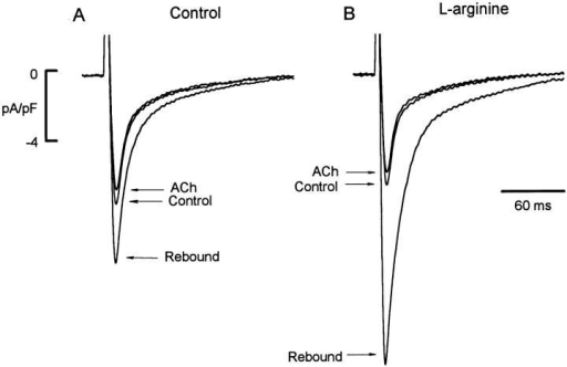 Effect of l-arginine on ACh-induced  regulation of ICa,L. In control cells (not incubated  in l-arginine), ACh induced a typical inhibition  followed by rebound stimulation of ICa,L elicited  by ACh withdrawal (A). In another cell incubated  in 5 mM l-arginine for 3 h, withdrawal of ACh  elicited a significantly larger rebound stimulation  of ICa,L (B).