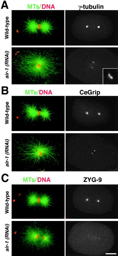 AIR-1 is required for the accumulation of γ-tubulin, CeGrip, and ZYG-9 during centrosome maturation. Wild-type and air-1(RNAi) embryos stained for MTs and DNA (left, green and red) and for either γ-tubulin (A), CeGrip (B), or ZYG-9 (C) are shown. Inset in A is magnified 5.5-fold. Bar, 10 μm.