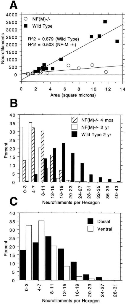 Neurofilament content in aging NF-M–deficient animals. (A) NFs were counted in myelinated axons from L5 ventral roots of 2-yr-old wild-type and control animals. The number of NFs in each axon was plotted against axonal size (area in square microns). Note that in myelinated axons of similar size the wild-type has more NFs than the NF-M– mutant. Regression equations:  and .  for effect of genotype on combined slope plus intercept. (B and C) NF densities were determined using methods similar to those described by Price et al. 1988. A template of hexagons was applied over each electron micrograph and the number of NFs per hexagon counted in alternate hexagons. Hexagons were excluded only if vesicular organelles filled more than ∼10% of the hexagon. At least 300 hexagons each equivalent to an area of 0.10 square microns were counted for each group and a frequency distribution plot was generated showing the number of NFs per hexagon. In B, NF densities in ventral root axons are shown for 4-mo- and 2-yr-old NF-M– mutants and 2-yr-old wild-type animals. The average number of NFs per hexagon was 18.0 ± 7.3 (SD) in 2-yr-old control axons, 6.2 ± 4.5 in 2-yr-old NF-M– mutant and 8.5 ± 4.5 in 4-mo-old NF-M– mutant axons (P < 0.0001 for both mutants vs. control and for 4-mo-old vs. 2-yr-old mutants). In C, NF densities are compared in dorsal and ventral root axons of 2-yr-old NF-M– mutants. Values were 9.3 ± 5.8 NFs per hexagon in the 2-yr-old dorsal roots and 6.2 ± 4.5 in 2-yr-old ventral roots (P < 0.0001).