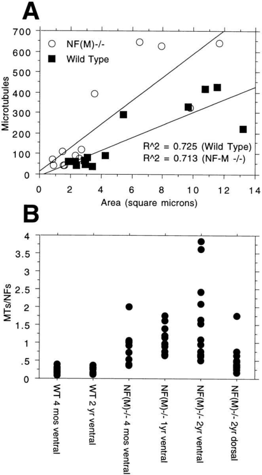 Microtubule content in aging NF-M–deficient animals. (A) MTs were counted in the same axons as in Figure 4 A. Note the relatively increased numbers of MTs in the NF-M– mutant. Regression equations:  for wild-type  and .  for effect of genotype on combined slope plus intercept. (B) The ratio of MTs/NFs is shown for axons of the indicated genotypes and ages. Note the increasing ratio of MTs/NFs with age in the ventral roots of NF-M– mutant animals. Data for ventral roots from 4-mo-old wild-type and NF-M mutant are taken from Elder et al. 1998a.