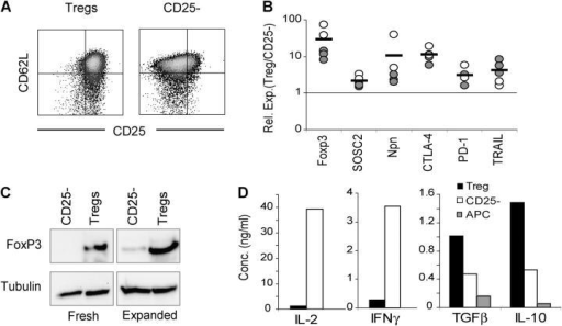 Phenotype of in vitro–expanded Tregs. (A) Expression of CD25 and CD62L on expanded Tregs and CD4+ CD62L+ CD25− cells was determined by flow cytometry on day 8 after the culture initiation. Results are representative of more than 20 independent experiments. (B) Levels of mRNA for the indicated genes in expanded NOD (filled symbols) or BDC2.5 TCR Tg T cells (open symbols) were determined by real time PCR analysis on day 10 after the initiation of the cultures. The relative expression ratio (Treg/TCD25−) for each pair of cultures was calculated from Ct values as described in Materials and Methods. The dashed line represents the ratio of 1 (i.e., identical level of gene expression in Treg and CD4+ CD62L+ CD25− cultures). (C) Western blot analysis of FoxP3 protein expression in fresh and expanded T cells. The level of tubulin expression was included as a loading control. Results are representative of three independent experiments. (D) Cytokine secretion by expanded BDC2.5 T cells 48 h after restimulation with antigenic peptide and splenic APC. Results are representative of two independent experiments.