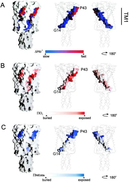 Residue environmental parameter profiles for TM1 mapped on equivalent positions of the Tb-MscL crystal structure. (A) Mobility parameter ΔHo−1; (B) oxygen accessibility parameter ΠO2; and (C) NiEdda accessibility parameter ΠNiEdda. Two views of the mapped parameters of TM1 are shown rotated 180°. In each case, surface accessible representation of whole MscL and of TM1 only was done using the program Grasp (Nicholls et al. 1991).