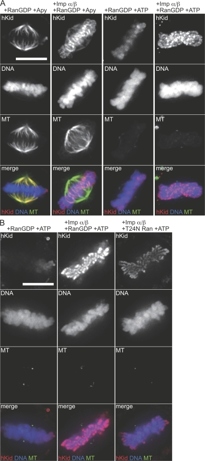 Importin-β–mediated chromosome loading of hKid is promoted by the production of Ran-GTP. (A) Digitonin-permeabilized mitotic HeLa cells were incubated with 0.4 μM FLAG-hKid in the presence or absence of 0.8 μM importin-α, 0.8 μM importin-β, and 4 μM Ran-GDP with or without an energy source. (B) Digitonin-permeabilized mitotic HeLa cells were incubated with 0.4 μM FLAG-hKid in the presence or absence of 0.8 μM importin-α, 0.8 μM importin-β, and 4 μM RanGDP or 4 μM T24N Ran with an energy source. After incubation, the cells were fixed and subjected to indirect immunofluorescence staining and the images were processed as described in Fig 3. Bars, 10 μm. Quantification of the fluorescent intensities of the images taken under the same conditions showed that the chromosomal accumulation of FLAG-hKid was reduced to 57% when Ran-GDP was replaced with T24N Ran.