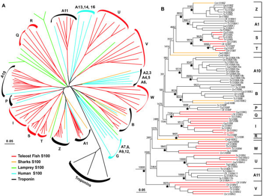 Phylogenetic tree of the teleost and human s100 gene family. A) 85 fish S100 (bony fishes in red and cartilaginous fishes in orange), 10 lamprey S100 (light-green) with human s100 genes (full set, excluding close relatives [38], light blue) and several representatives of another EF hand family, the troponins as an outgroup (black). B) Fish s100 genes from six teleost species and two cartilaginous fish (Squalus acanthias and Callorhinchus milii) are depicted. Catfish S100I [18] groups with zebrafish S100I (not shown). The Tn_S100T fragment (2nd exon, see Additional File 4) is not included for technical reasons. The colored names indicate fish s100 genes previously published. Stars indicate that the clades downstream of the node are supported by all three methods used for the phylogenetic analysis (NJ, ML and MP). The trees presented were constructed using the NJ method. Bootstrap support (total 10000 replications) is indicated at the major nodes. Scale bar indicates the number of amino acid substitution per site.