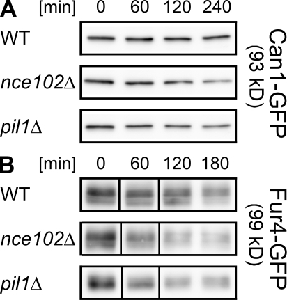 Degradation of MCC transporters is accelerated in mutants affected in the domain formation. (A and B) Exponentially growing cultures of wild-type (WT), nce102Δ, and pil1Δ cells expressing Can1-GFP (A) and Fur4-GFP (B) were treated with cycloheximide. At the given time points, total membranes were isolated from the culture aliquots (see Materials and methods). The membrane proteins were resolved by SDS-PAGE, and Can1-GFP and Fur4-GFP were detected by anti-GFP antibody on Western blots. 2.5 μg of the total protein was loaded into each lane. Black lines indicate that intervening lanes have been spliced out.