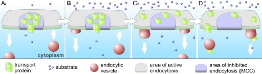 Model of spatially confined protein turnover. In the presence of low substrate concentrations, specific transporters are concentrated in MCC and protected against internalization (A). After the excess of substrate is supplied (B), the transporters are released from the MCC patches to the surrounding membrane (C) and subjected to endocytosis (D).